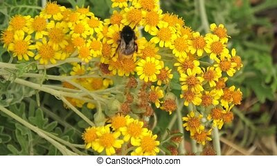 Close-up of Italian large earth bumblebee flying on yellow daisy flower in Elba island of Italy. Bombus terrestris species. Flying insect for pollination of flowers. buff-tailed bumblebee flying bug.