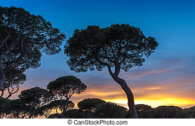 Italian sunset on the background of pines