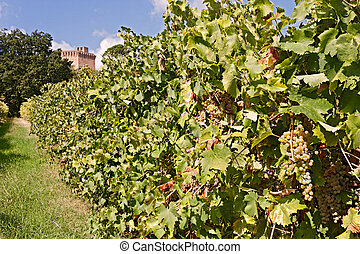italian vineyard for wine production - rows of grapevine...