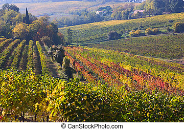 Italian vineyard - vines for wine production on the italian...