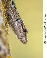 Italian Wall Lizard (Podarci siculus) Looking down from a tree