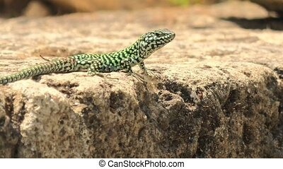 Italian wall lizard, red ruin lizard, Podarcis siculus species. Waving legs to calm on a stone in Elba Island in Italy.