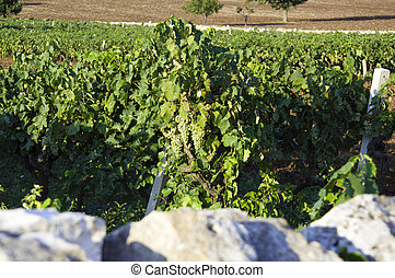 Italian wine Puglia vineyard