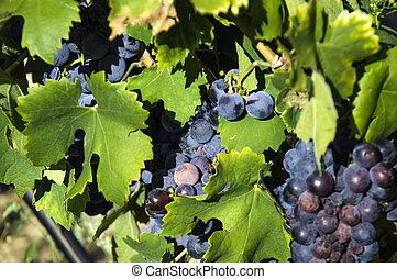 Italian wine Umbria vineyard