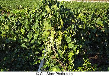 italiano,  Úmbria, vinho