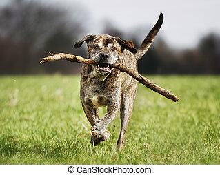 italienesche, dogge