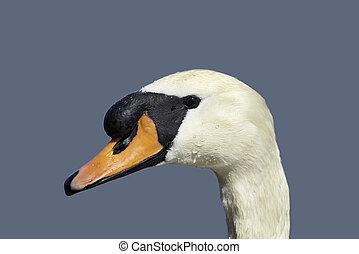 ITALY, swan