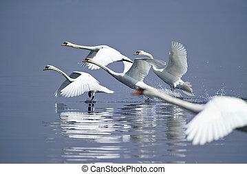 ITALY, swans