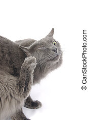 Itchy kitty cat scratching - Beautiful grey cat scratches ...