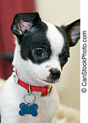 It\\\'s Hard Being Me - Tiny Chihuahua with a look of quiet...