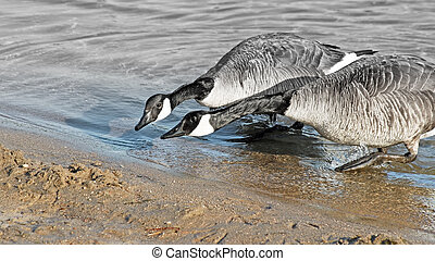 ITS NECK AND NECK. Two Geese racing