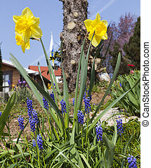 It's spring - hyacinths and daffodils in the garden