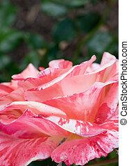 Close Up of Ivan Crowther, Floribunda Rose Petals, Selective Focus with Copy Space
