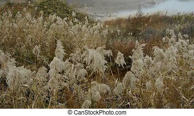 iver reeds in wind,shaking