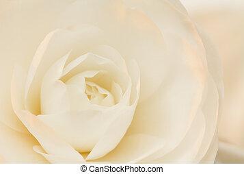 Ivory and rose camellia - Soft dreamy camellia blossom, with...