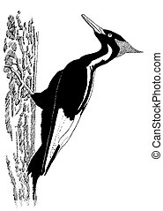 Ivory-billed Woodpecker Campephilus principalis Pen-and-Ink