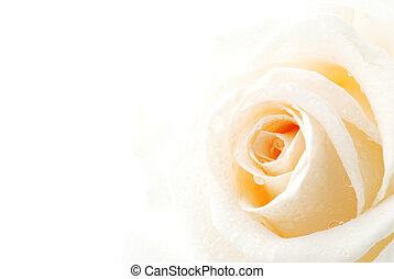 Beautiful white rose with drops of dew isolated on white