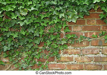 Vines - Ivory Vines Growing on a Brick Wall