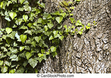Ivy and Bark