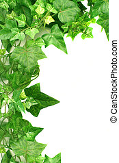 ivy border - botanical, green border made of ivy leaves
