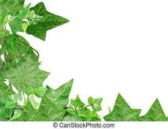 ivy border - botanical, green border made of ivy leaves