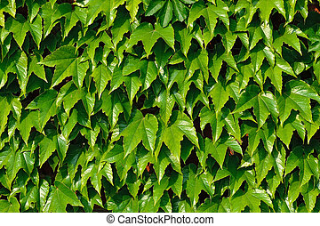 Ivy climbing (Hedera helix) on a brick wall