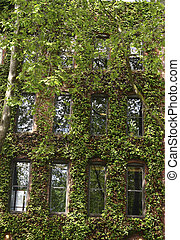 Ivy Covered Brick Wall and Windows