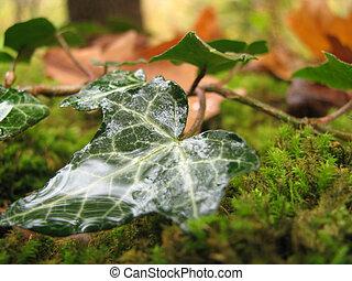 ivy, drop, dew, verdure, plant, background, beauty