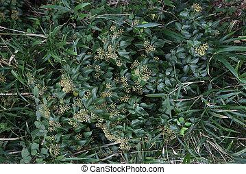 ivy), fleurs, rhombea, (japanese, hedera