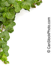 Green ivy twig on a white background