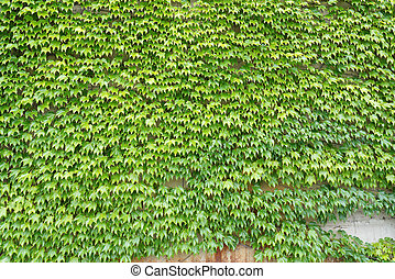 ivy green leaves growing on a wall
