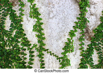 Ivy green with leaf on concrete white wall