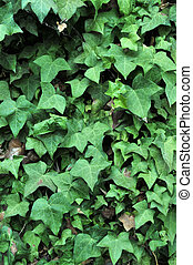 Ivy Growing on an Adobe Brick Wall