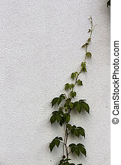 ivy growing up - ivy grows upward, upward, new beginning,...