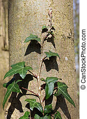 Ivy growing up tree