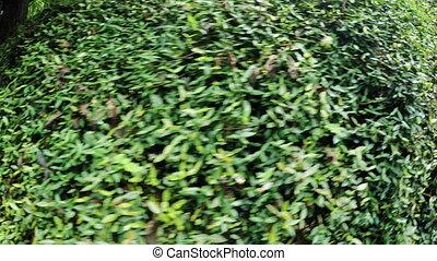 Ivy in park - Batumi Botanical Garden park Ivy