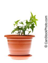 ivy in pot