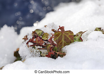 Ivy in the snow