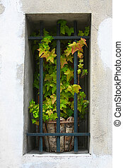 ivy in the window