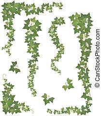 ivy., komplet, gałęzie, wisząc