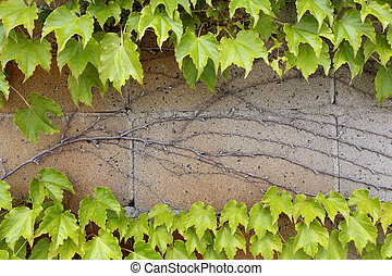 ivy leaves growing on a wall