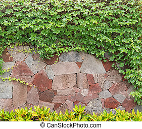 ivy leaves isolated on a rock wall background