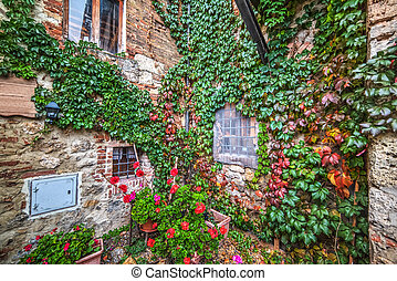 ivy leaves on a rustic wall in Tuscany