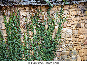 Ivy leaves on the stone old wall