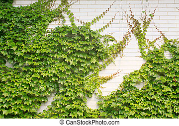 ivy leaves on the wall , can be used as Chinese herbal...