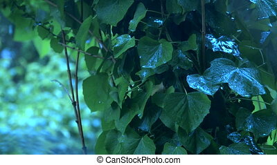 Ivy leaves on tree in heavy rain close-up