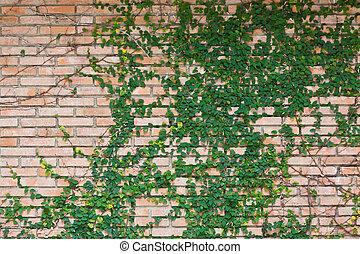 Ivy on old brick wall