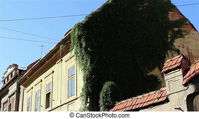 Ivy on Old House Walls - Decorative ivy grown on the facade...