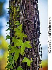 Ivy on Pine Tree