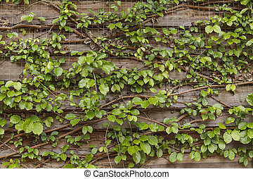 Ivy on the old house, Green leaves on the old wooden wall